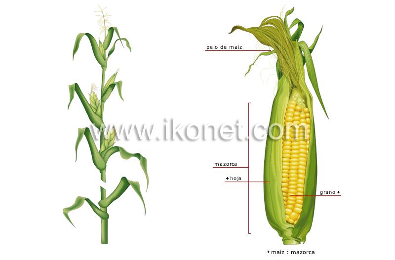 Mazorca Maiz Ingles Ver Maíz en Francés | Inglés