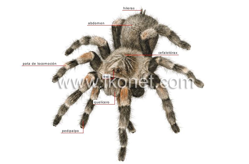 Morfología de una araña | Diccionario Visual