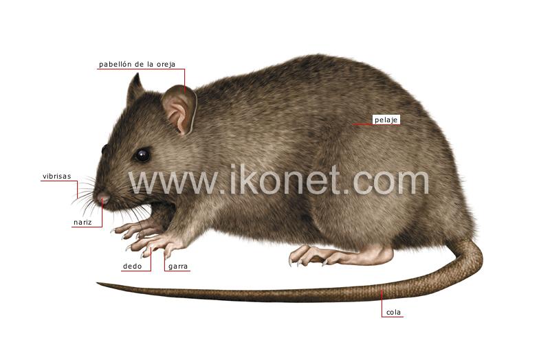 reino animal > roedores y lagomorfos > roedor > morfología de una ...