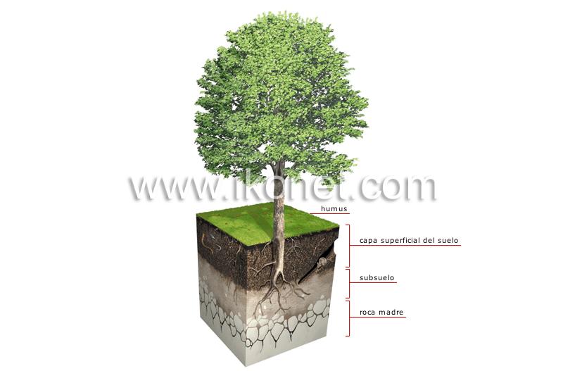 Reino vegetal planta perfil del suelo imagen for Perfil del suelo wikipedia