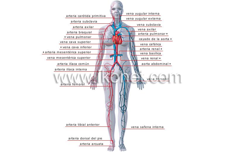 Principales venas y arterias | Diccionario Visual
