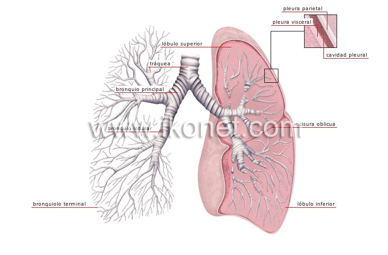 ser humano > anatomía > aparato respiratorio > pulmones imagen ...