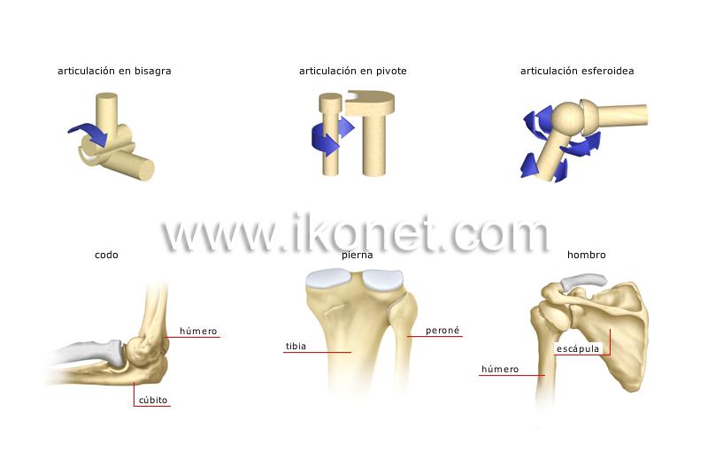 ser humano > anatomía > esqueleto > tipos de articulaciones ...