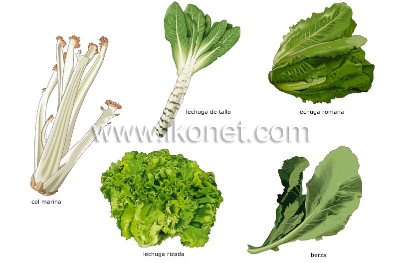 ... de cocina > productos alimenticios > hortalizas > verduras de hojas