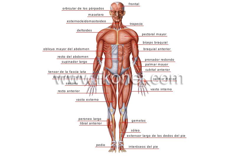 ser humano > anatomía > músculos > vista anterior imagen ...