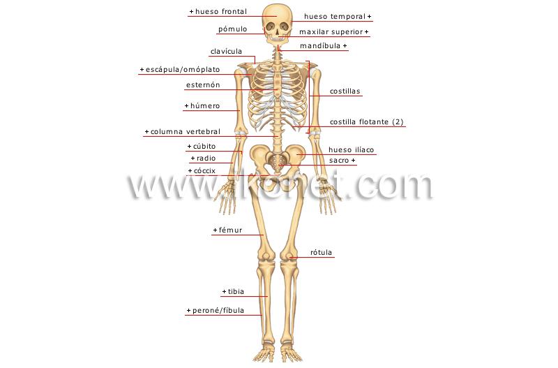 ser humano > anatomía > esqueleto > vista anterior imagen ...