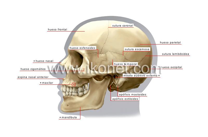 ser humano > anatomía > esqueleto > vista lateral del cráneo imagen ...