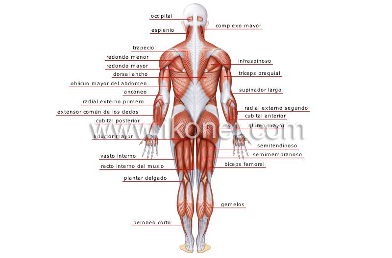 ser humano > anatomía > músculos > vista posterior imagen ...