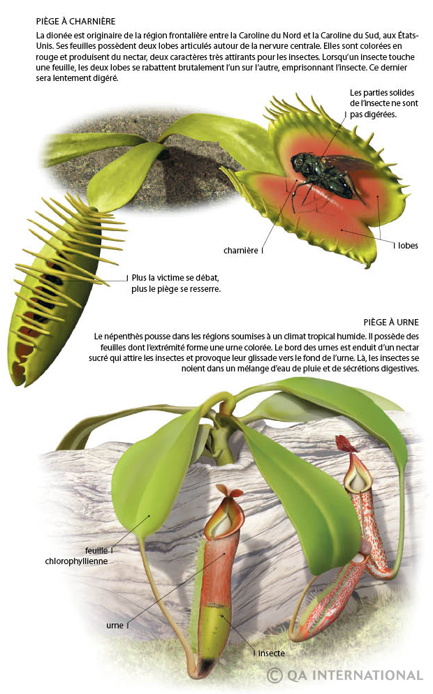 plante carnivore animal ou vegetal
