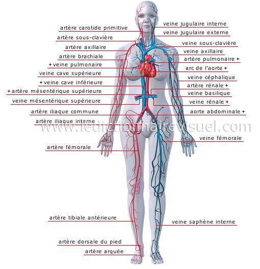 artere sous claviere