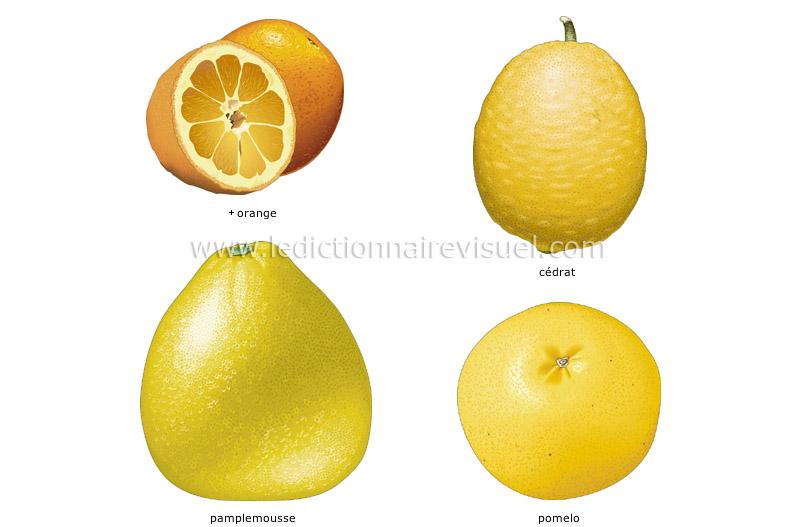 Alimentation et cuisine alimentation fruits agrumes image dictionnaire visuel - Pamplemousse amer ou acide ...