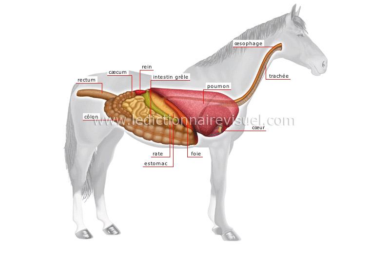 Schéma du système digestif du cheval.