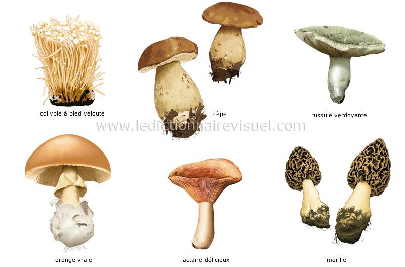 champignons - Le Dictionnaire Visuel