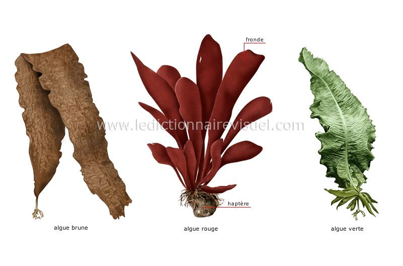 Exemples d algues dictionnaire visuel for Vegetal en anglais
