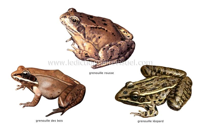 R gne animal amphibiens exemples d amphibiens image for Portent en espanol