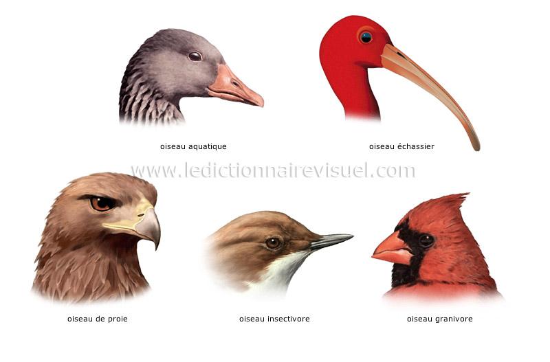R gne animal oiseaux oiseau exemples de becs image for Oiseau a long bec
