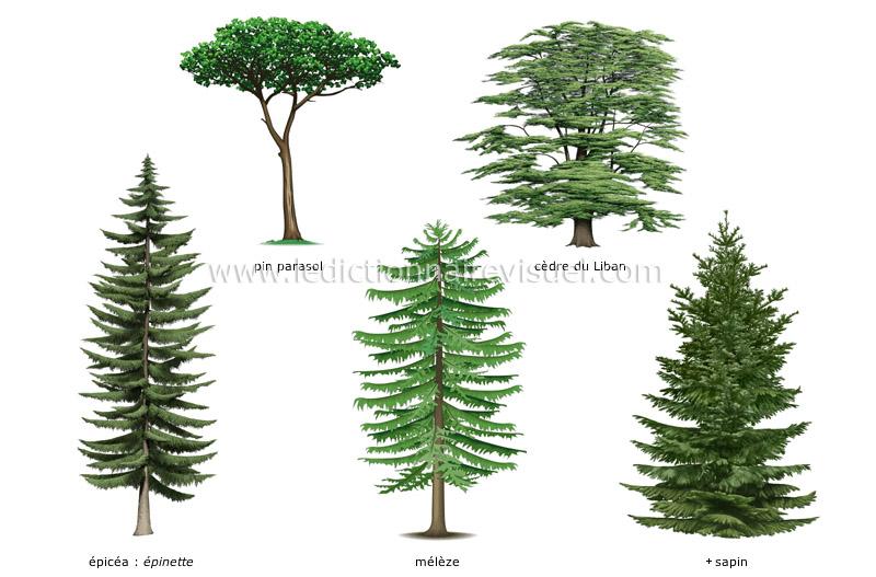 R gne v g tal conif re exemples de conif res image dictionnaire visuel - Differentes especes de pins ...