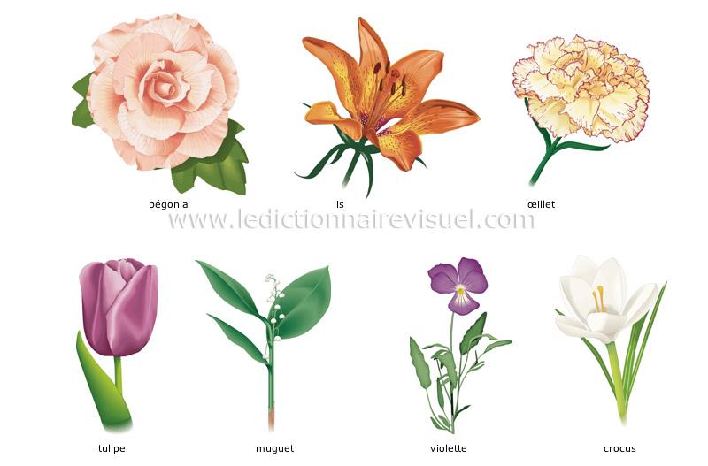 r gne v g tal fleur exemples de fleurs image dictionnaire visuel. Black Bedroom Furniture Sets. Home Design Ideas