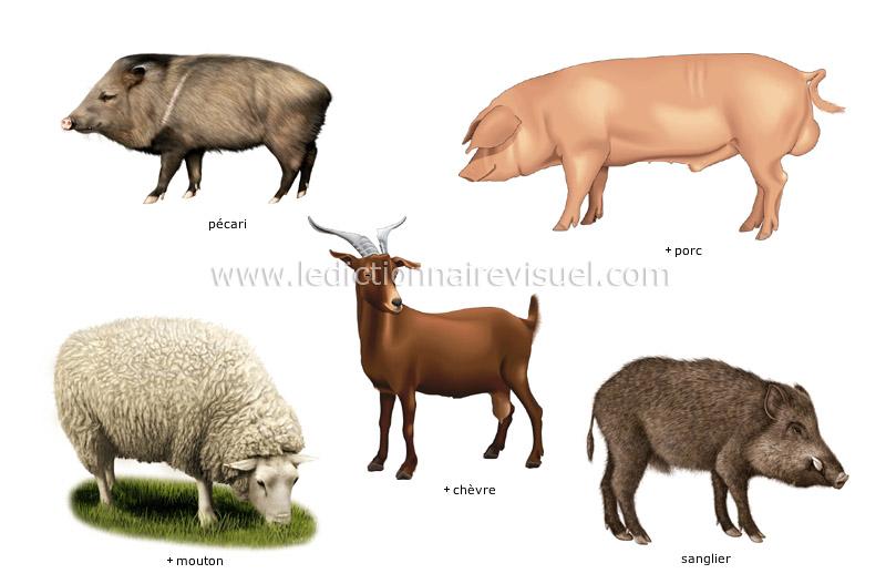 Extrêmement règne animal > mammifères ongulés > exemples de mammifères ongulés  KW33