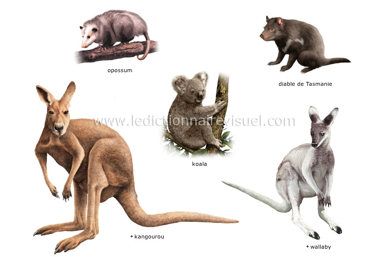 Gut bekannt règne animal > mammifères marsupiaux > exemples de marsupiaux  BC62