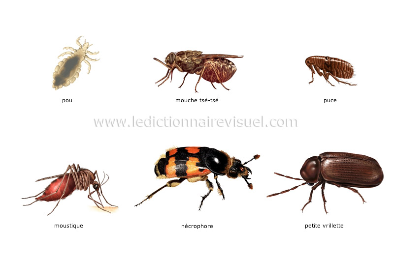 r gne animal insectes et arachnides exemples d insectes image dictionnaire visuel. Black Bedroom Furniture Sets. Home Design Ideas