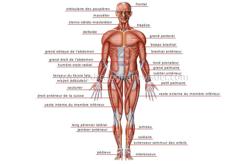 Muscles - face antérieure | Dictionnaire Visuel