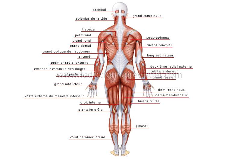 être humain > anatomie > muscles > face postérieure image ...