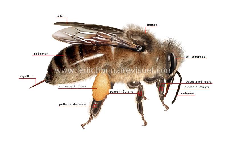 règne animal > insectes et arachnides > abeille > morphologie de l ...
