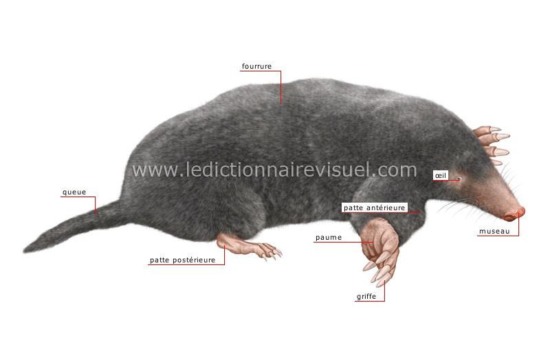 règne animal > mammifères insectivores > taupe > morphologie de la ...