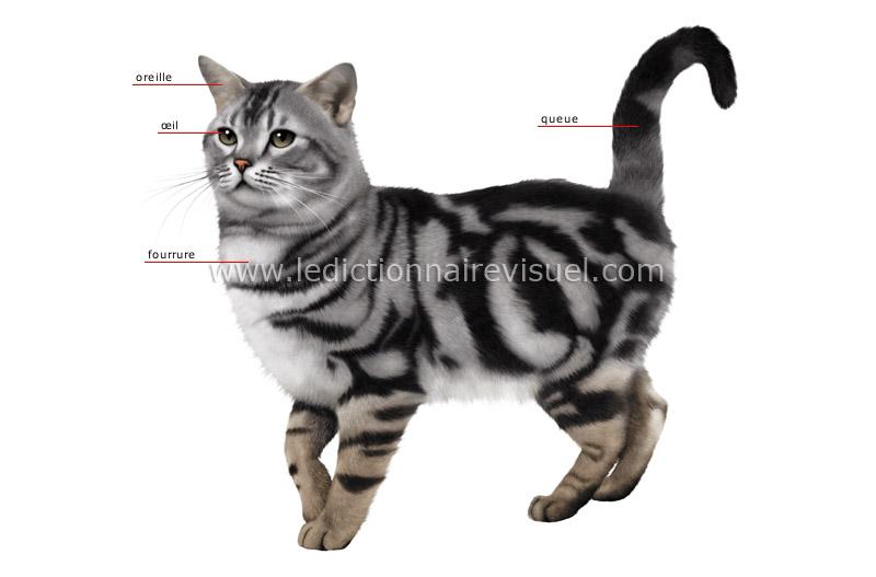 r gne animal mammif res carnivores chat morphologie du chat image dictionnaire visuel. Black Bedroom Furniture Sets. Home Design Ideas