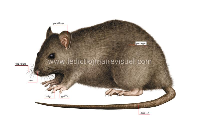 r gne animal mammif res rongeurs et lagomorphes rongeur morphologie du rat image. Black Bedroom Furniture Sets. Home Design Ideas