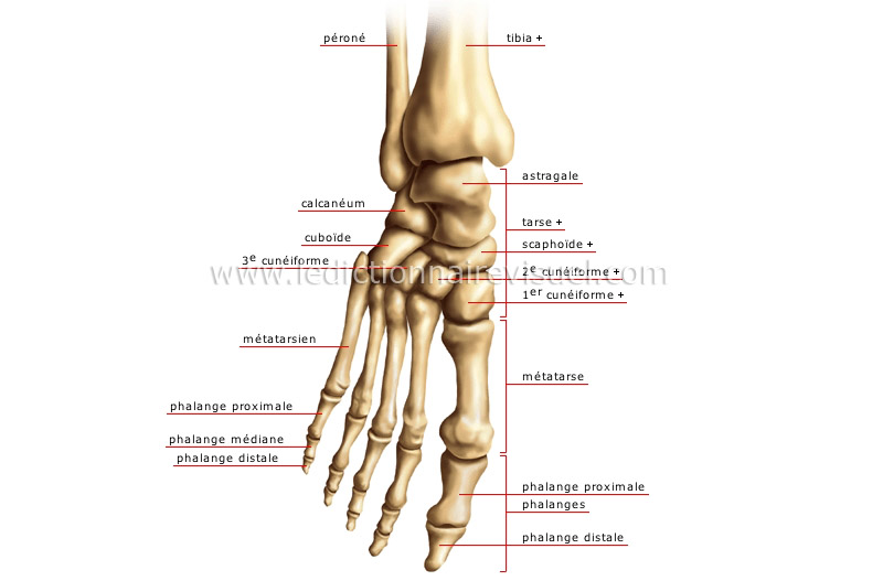 Bones of the foot anatomy