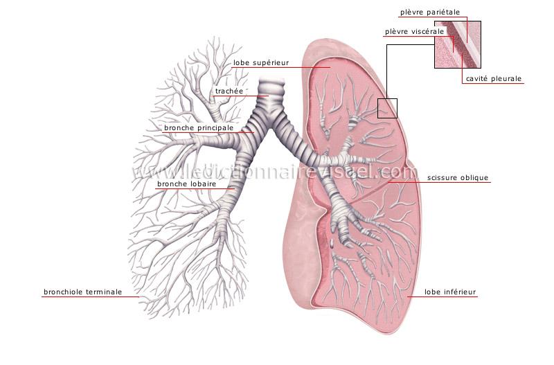 poumons image
