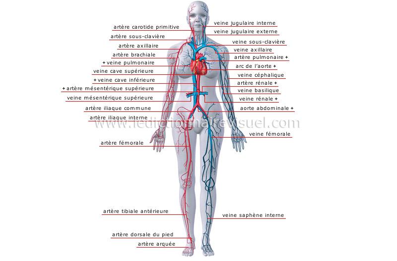 des arteres et des veines