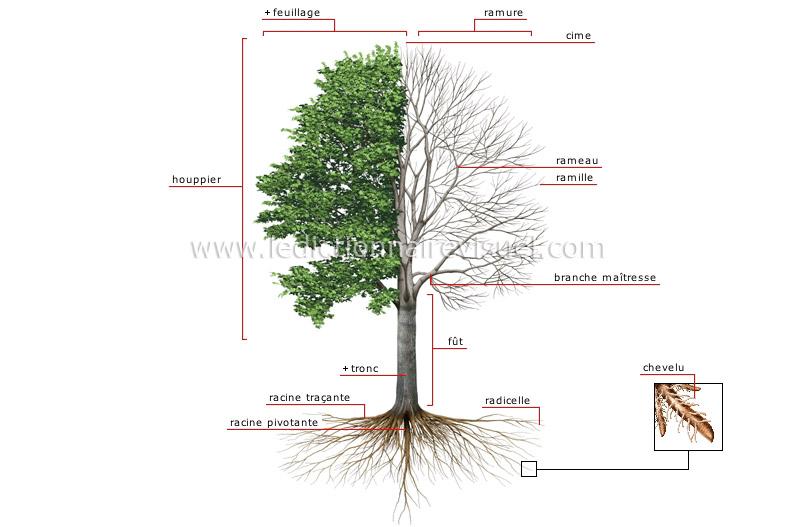 R gne v g tal arbre structure d un arbre image dictionnaire visuel - Definition d une hauteur ...