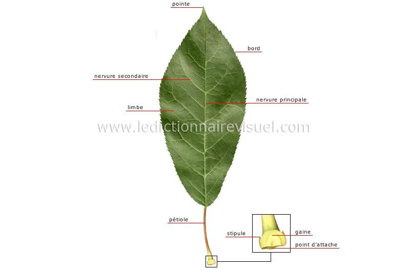 R gne v g tal feuille structure d une feuille image for Vegetal en anglais