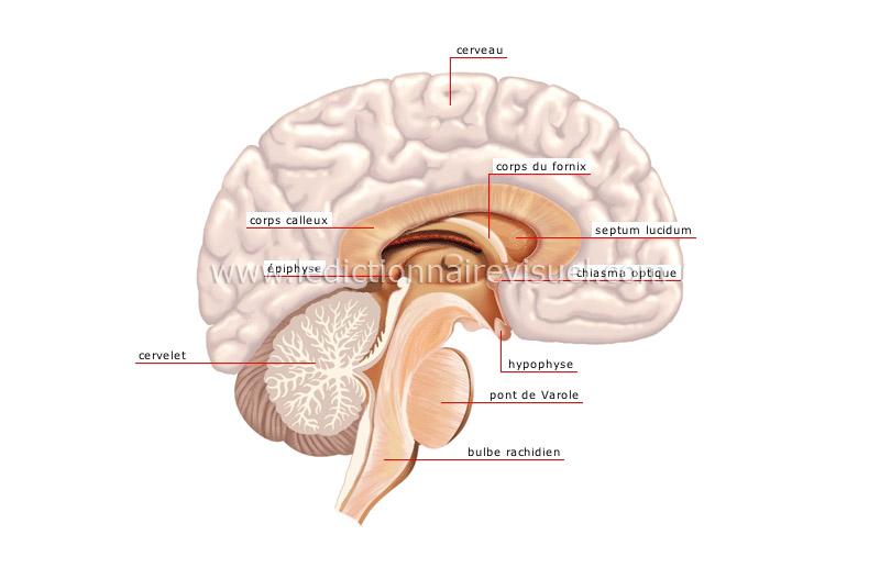 système nerveux central image