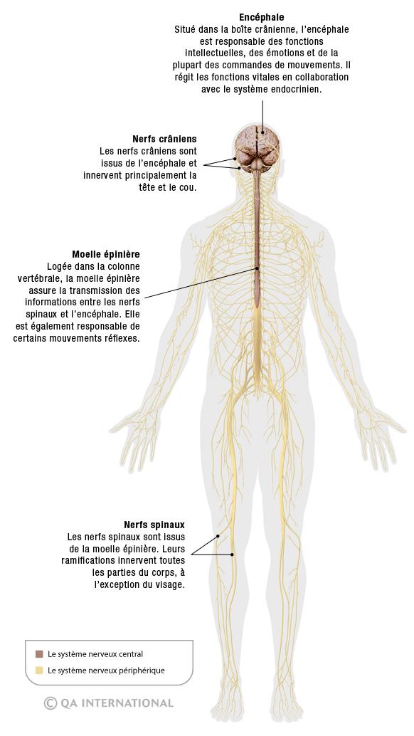 Structure du Système Musculaire
